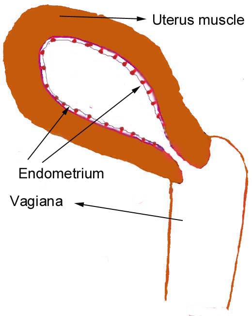 ... Representation of Usual Changes in the Uterus and Ovary During Puberty